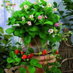 Strawberry F1 'Rosana'®