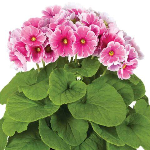 Primula Houseplant Pink
