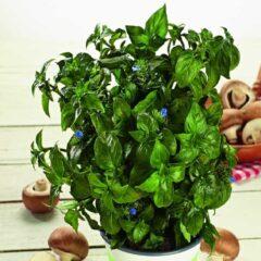 Mushroom Plant Herb