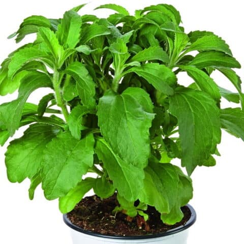 Stevia ('Sweetleaf' or 'Candyleaf')