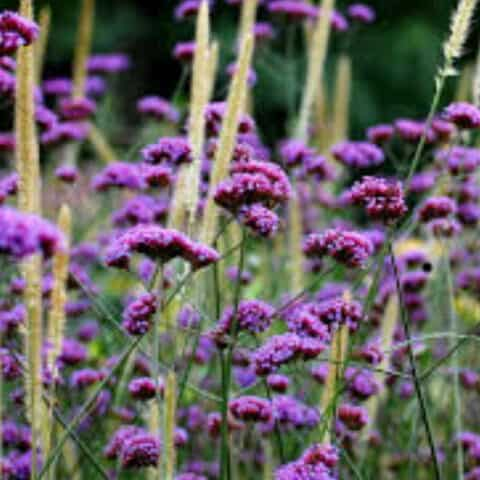 Verbena bonariensis 'Royal Dreams'