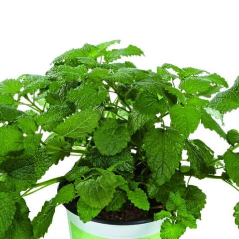 Lemon Balm 'Fit'