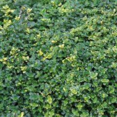 Thyme citriodorus 'Sambesi' 3 Plants