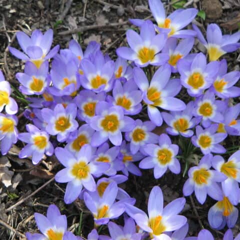 https://freeplants.co.uk/wp-content/uploads/2020/11/Crocus_sieberi_Tricolor.jpg