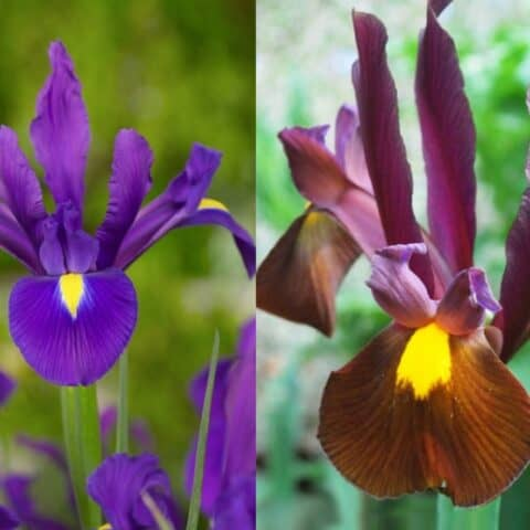 IRIS Hollandica 20 Bulbs - Colourful Gap-Fillers - Mixed Borders