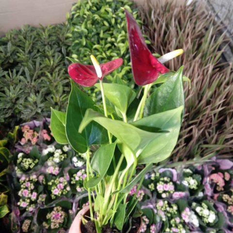 Anthurium Andraeanum 'Diamond Red'