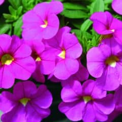Trailing 'mini petunia' Calita® 3 Plants