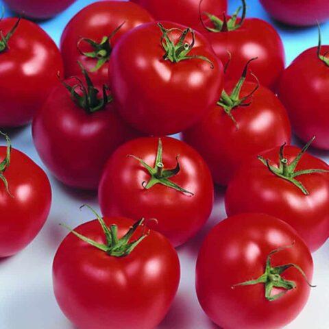 Tomato Shirley