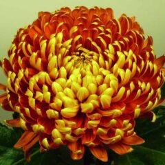 Chrysanthemum - Large Flowered