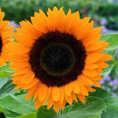 FREE Sunflower Sunrich F1 Orange