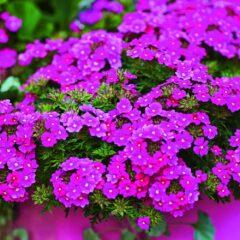 Garden Verbena Vectura® Pink