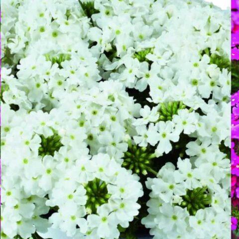 Verbena x peruviana Vectura® Pink & White FREE