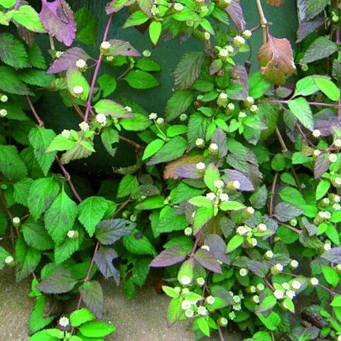 Aztec Sweet Herb Colada®