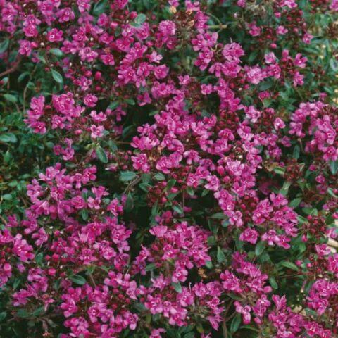 Creeping Thyme - Thymus praecox 'Creeping Red'