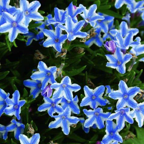 Lithodora diffusa 'Blue Star'